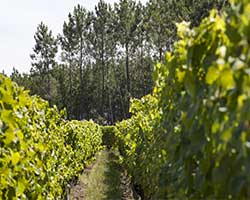 Vines in vignoble de sauternes thumbnail